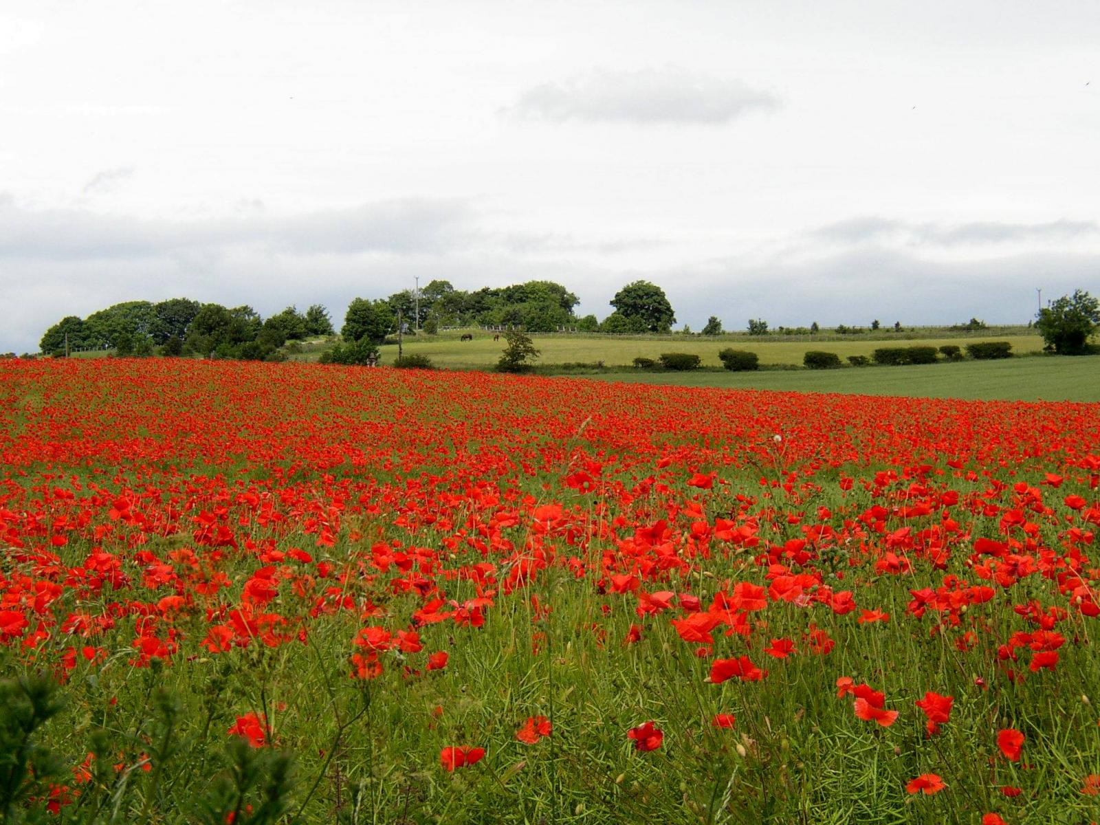 Poppies near Corbridge