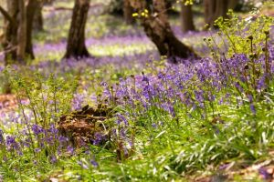 Read more about Where to see bluebells in Newcastle, Northumberland, Durham & Gateshead